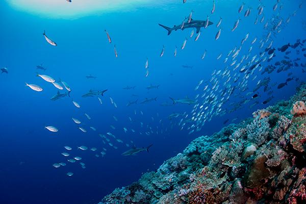 Graue Riffhaie, Siaes Corner, Palau