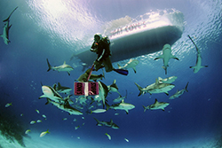 Haie Stuart Cove's Dive Bahamas