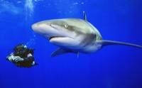 Weißspitzenhochseehai Bahamas