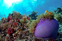 Anemone, Big Drop Off Palau,