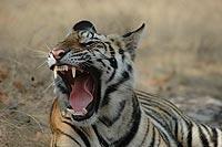 th_JWC-Tiger02
