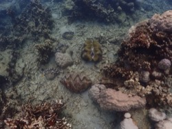 Riesenmuschel-Kolonie Palau Pacific Resort