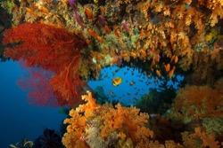 Volivoli farbenfrohe Korallen